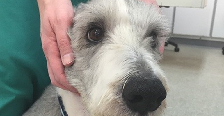 Brig the Bearded Collie