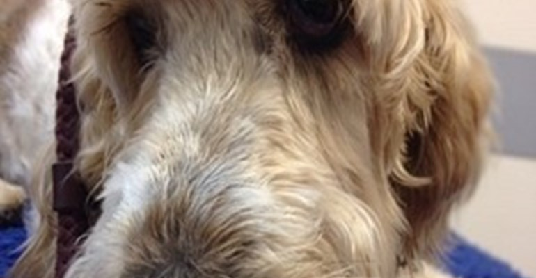 Josie the Basset Griffon Vendeen