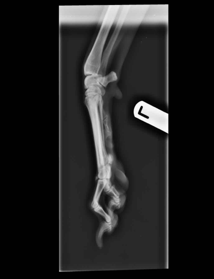 Foot (Forelimb) – Lateral Canine X-ray Positioning guide 2