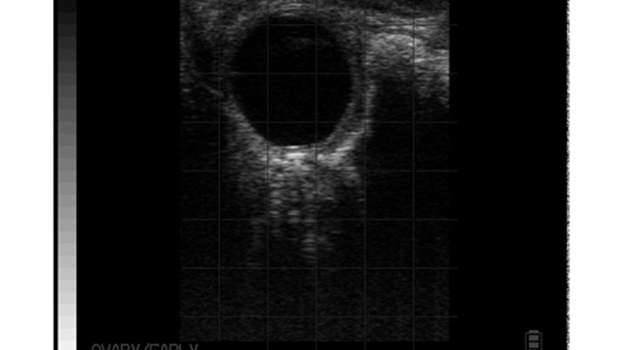 Ovary with follicular cyst bovine BCF Easi-Scan